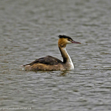 Great crested grebe - Chichester lakes 4.jpg