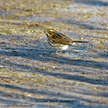 Reed bunting feeding on the ground
