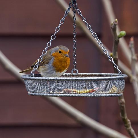 Robin on the swing feeder.jpg