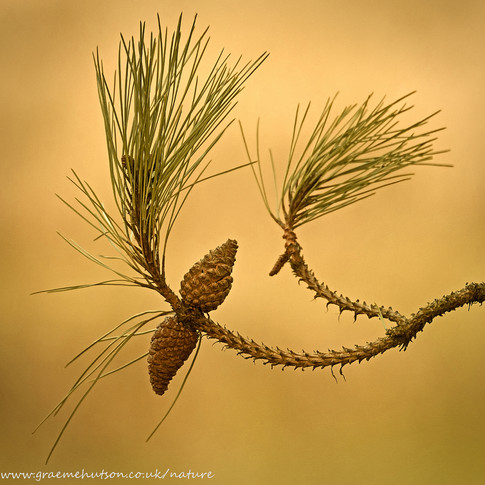 Two pine combs