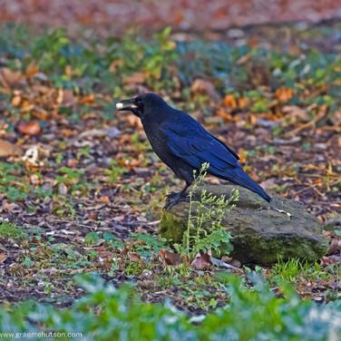 Crow with half eaten peanut