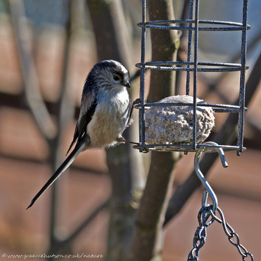 Long tailed tit on feeder