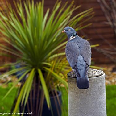 Pigeon on chimnea