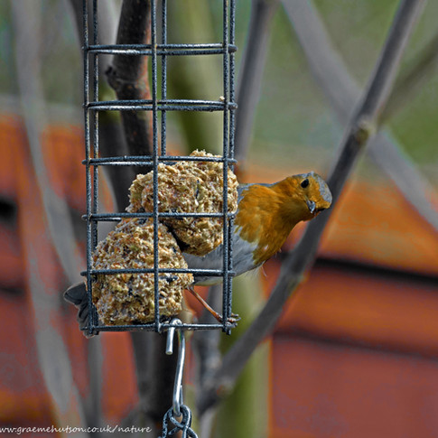 Robin on bird feeder 2