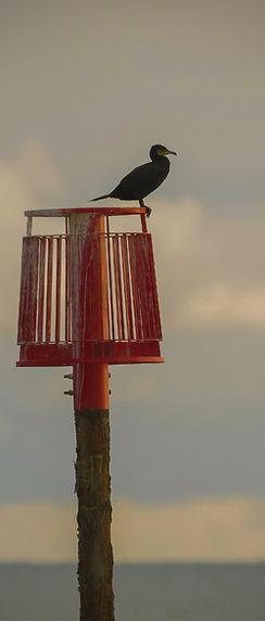 c Cormorant profile.jpg