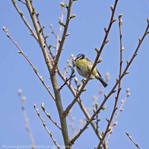 Blue tit in budding hazel tree.jpg