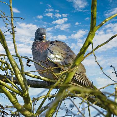 Angry pigeon