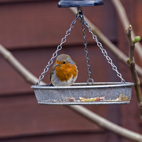 Robin on the 'swinging' feeder.jpg