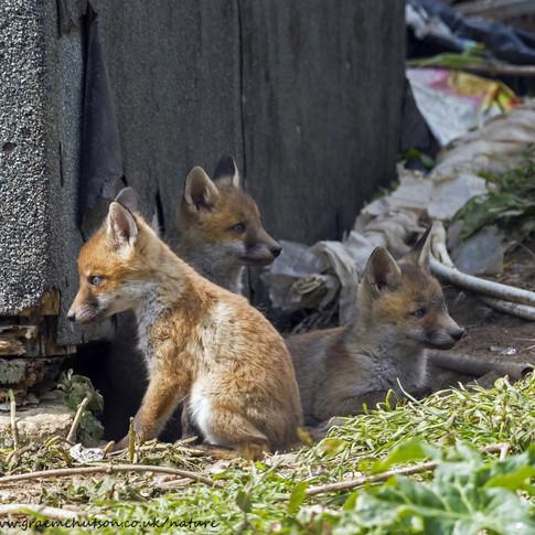 Fox cubs profiles