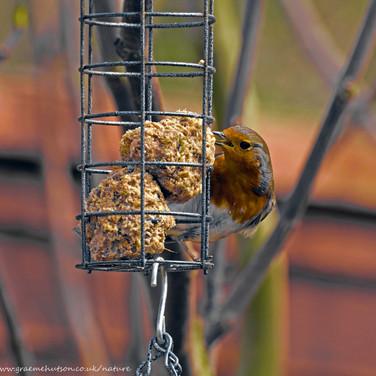 Robin on bird feeder 1