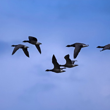Six Brent geese