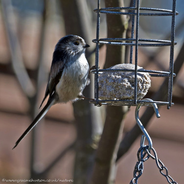 Long tailed tit on fatball feeder 2