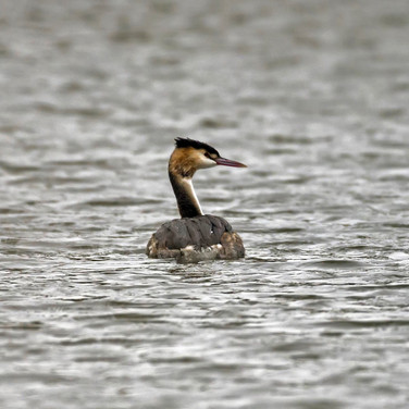 Great crested grebe - Chichester lakes 1.jpg