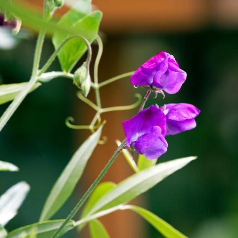 Sweet Pea purple.jpg