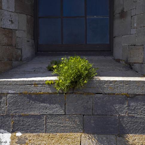 c Wild plant in castle window.jpg