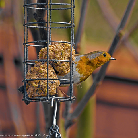 Robin on bird feeder 3