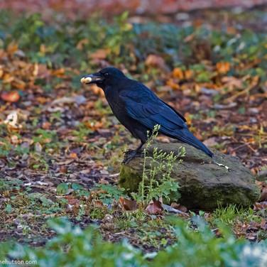 Crow with peanut