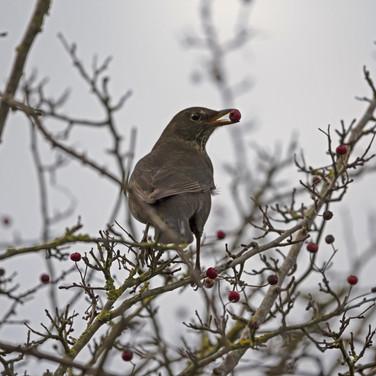 Hen blackbird with hawthorn berry