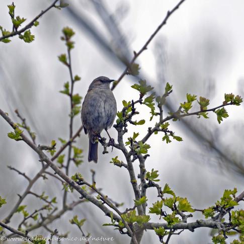 Dunnock in tree 1 160421
