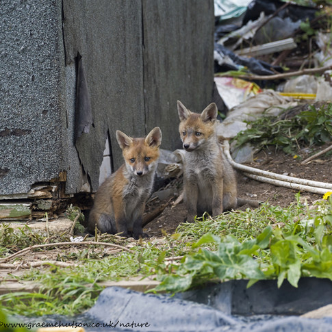 Pair of fox cubs
