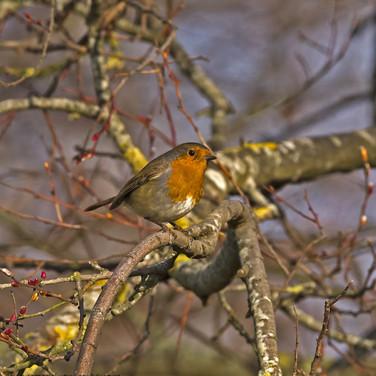 Robin - right profile