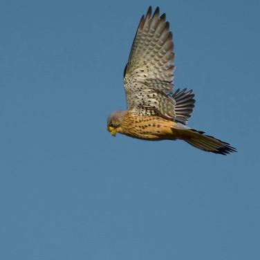Male Kestrel hunting