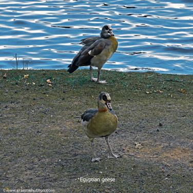 Egyptian geese by the water's edge