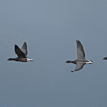 Brent Geese arriving at Pagham Harbour