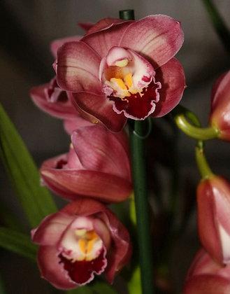 Orchidea Cymbidium