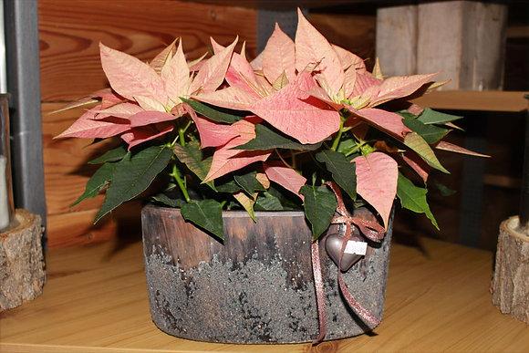 Stelle di Natale rosa salmone in vaso