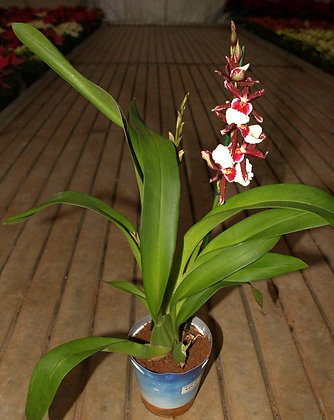 Orchidee mix