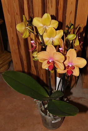 Orchidea Phalenopsis multiflora