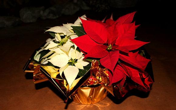 Ciotola con Stelle di Natale piccola