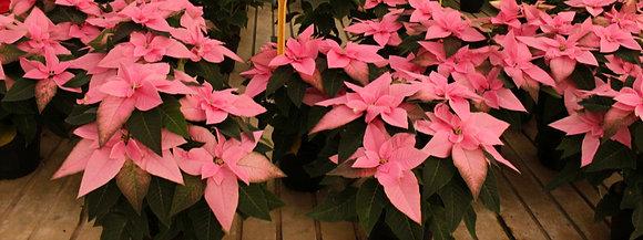 Princettia - Stella di Natale rosa