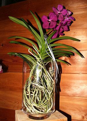 Orchidea Vanda in vaso di vetro