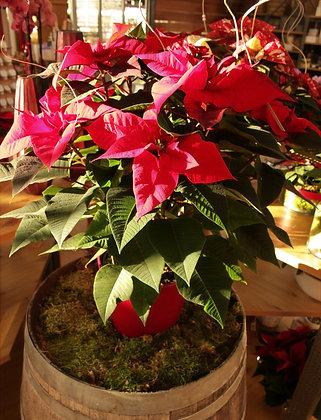 Stella di Natale grande rossa