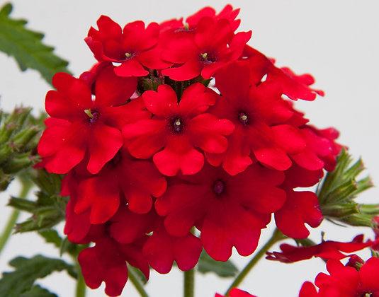 VERBENA DARK RED V.14