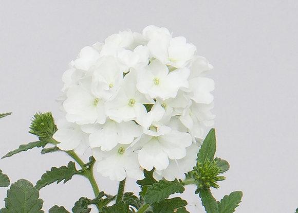 VERBENA WHITE V.14