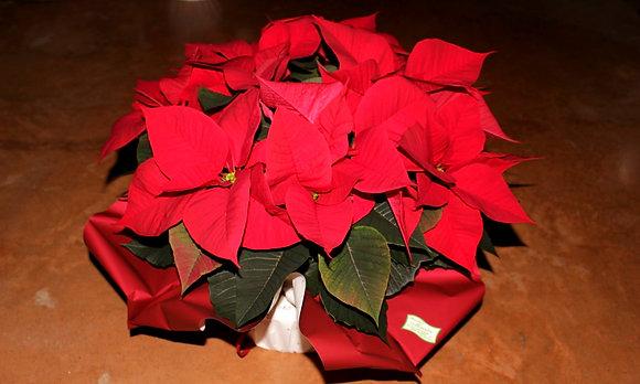 Ciotola con Stelle di Natale media