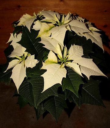 Stella di Natale vaso 16