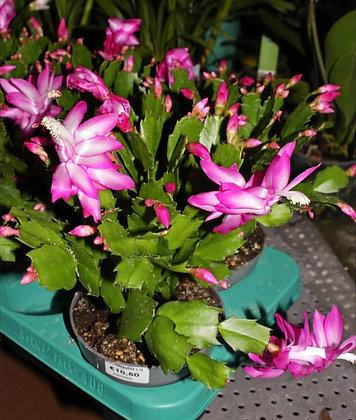 Schlumbergera - Cactus di Natale