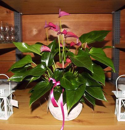 Composizione con Anthurium rosa