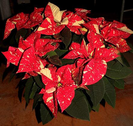 Stella di Natale vaso 20