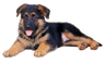 gsd-puppies-for-sale.png