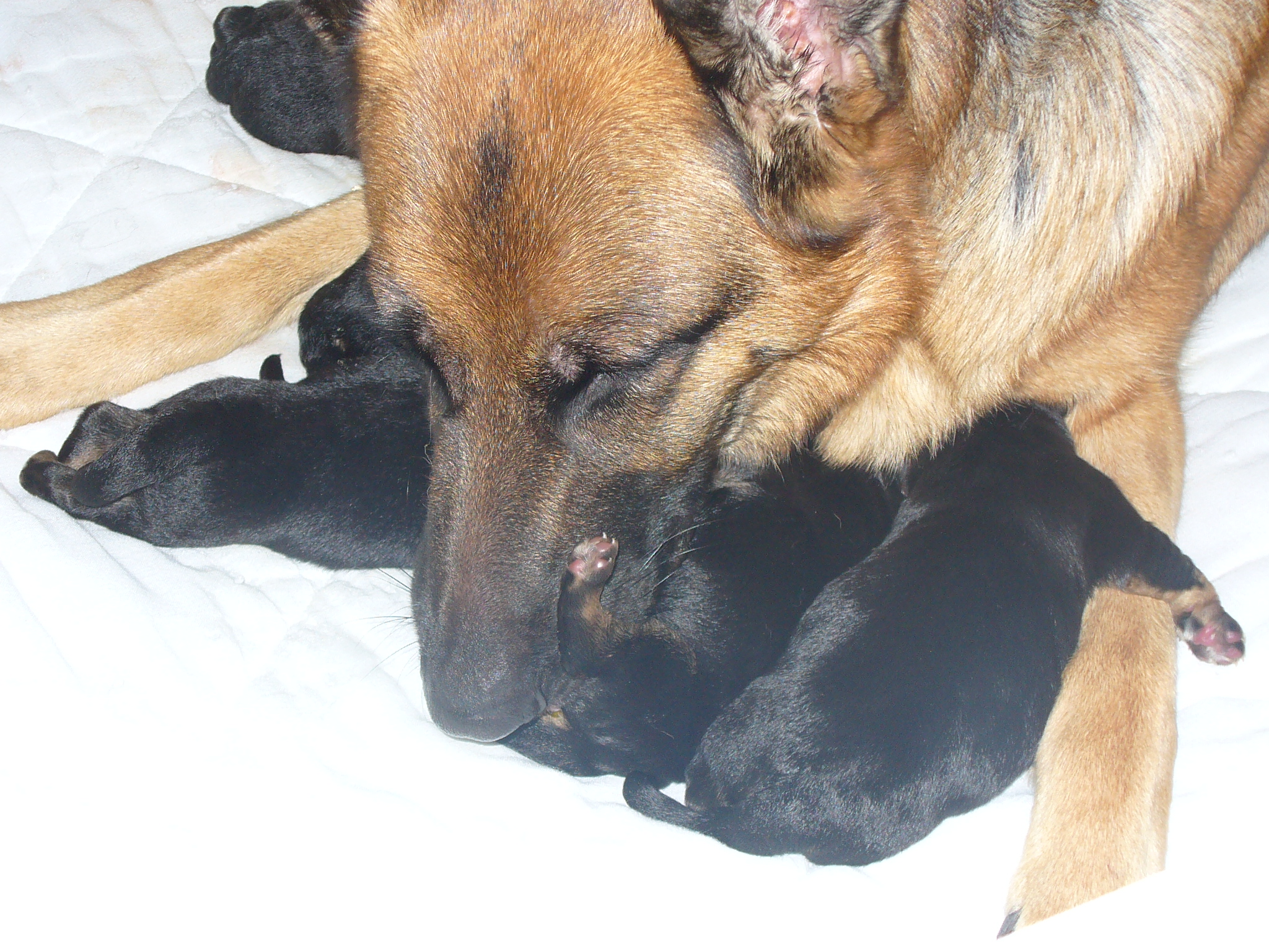 Vom Haus Edinburgh German Shepherds | Puppies For Sale