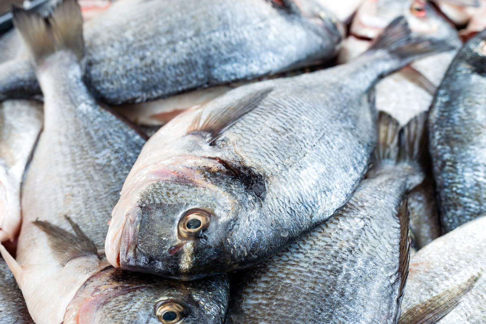 OYSTER BAR VERNON fish-fresh-sea-bream-r