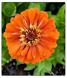 Z Orange Beauty.jpg