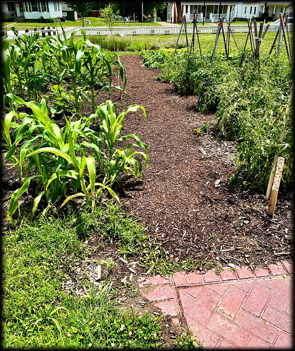 Corn, tomatoes and a lone marigold in garden at D.D. Collins House July 2021