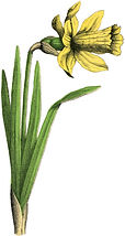 Vintage-Daffodil-Picture-GraphicsFairy-5