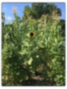 One Sunflower in the corn.jpg